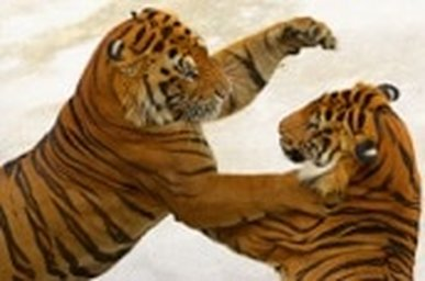 TWO-TIGERS